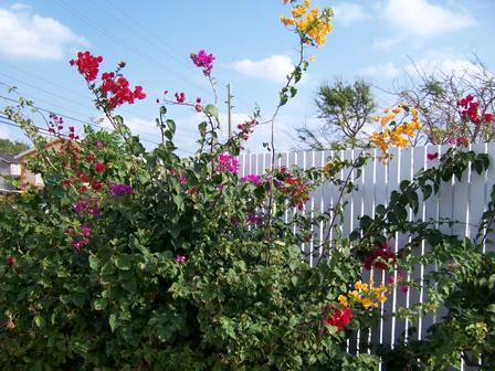 Front gate in bloom